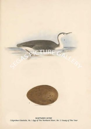 NORTHERN DIVER - Colymbus Glacialis, No.1 Egg of The Northern Diver, No. 2 Young of The Year